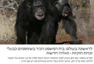 לראשונה בעולם: בית המשפט הכיר בשימפנזים כבעלי זכויות חוקיות